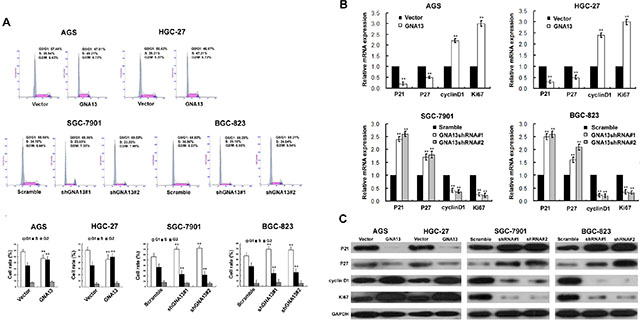 The effect of GNA13 on cell cycle of distribution and G1–S-phase regulators of GC cells.
