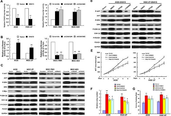 GNA13 downregulates FOXO1 transcriptional activity via activation of the PI3K/AKT and MAPK/ERK signaling pathway.