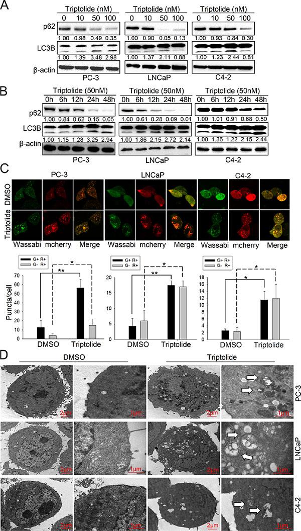 Triptolide induces autophagy in PCa cells.