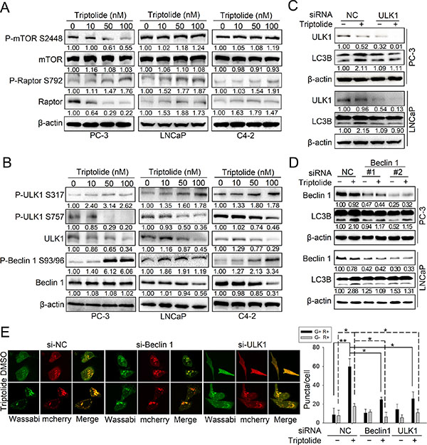 Triptolide inhibits the mTORC1 complex and activates both the ULK1 complex and the class III PI3K complex in PCa cells.