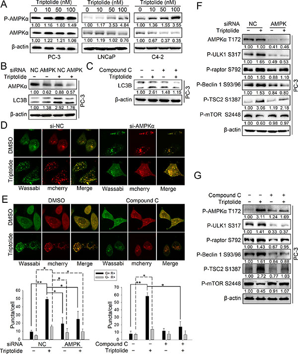 Triptolide activates the AMPK pathway in PCa cells.