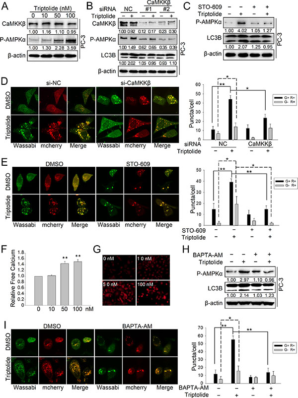 Triptolide induces autophagy by activating the CaMKKβ-AMPK signaling pathway.
