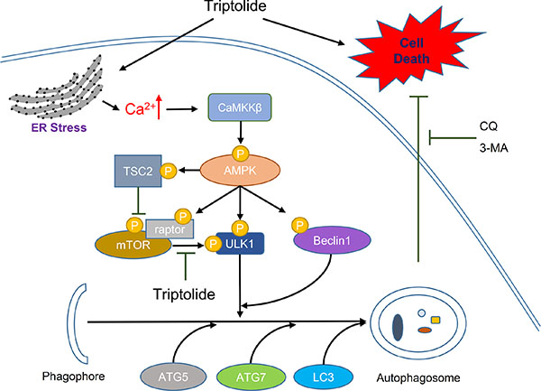 Schematic diagram of hypothetical mechanisms underlying induction of autophagy by triptolide in PCa cells.