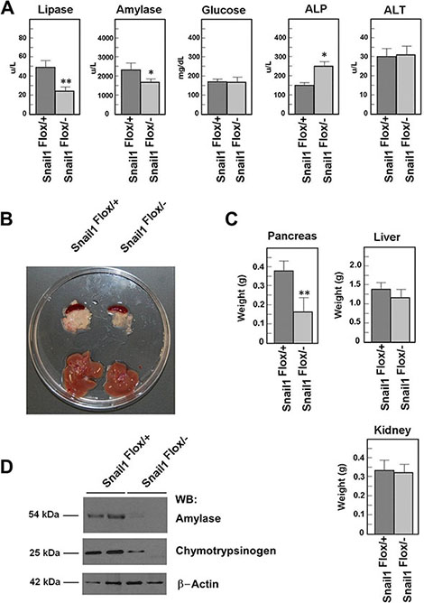 Snail1-depleted mice present a smaller pancreas.