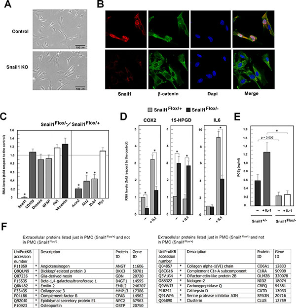 Snail1-deficient PMCs present decreased nuclear β-catenin and downregulated expression of β-catenin–target genes.