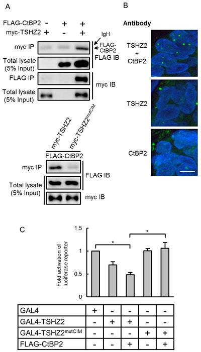 TSHZ2 is a CtBP-dependent transcriptional repressor.