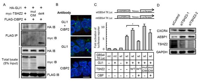 TSHZ2 suppresses the transcriptional activity of GLI1.
