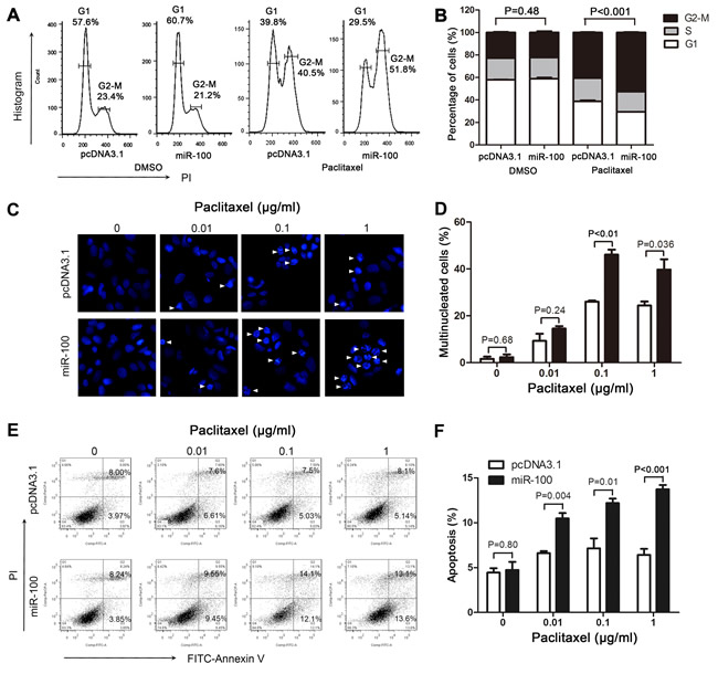 MiR-100 sensitizes MCF-7 cells to paclitaxel by promoting paclitaxel-induced cell cycle arrest, multinucleation and apoptosis.