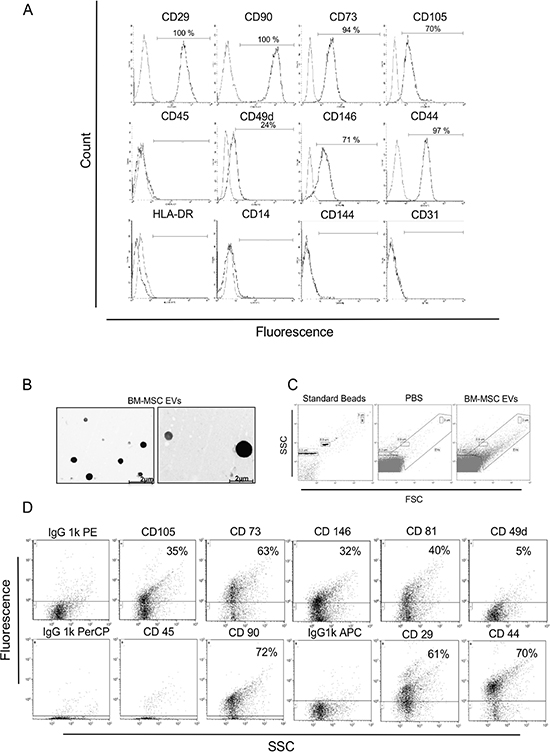 Immunophenotypic characterization of the BM-MSC and derived EVs.