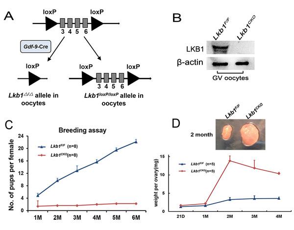 Lkb1 is essential for female fertility.