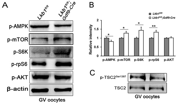 Upregulation of mTORC1 signaling in oocytes of