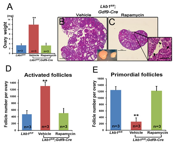 Rapamycin effectively rescues the overactivation of primordial follicles in ovaries of