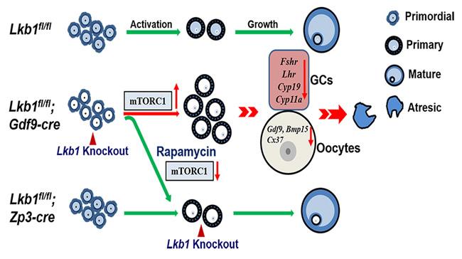 Schematic diagram of follicular development in