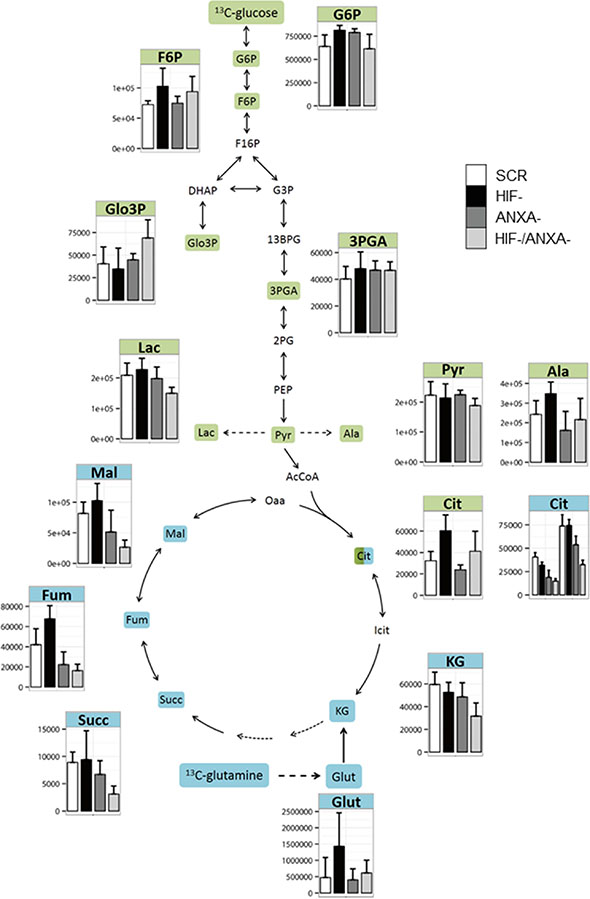 Activity of the central carbon metabolism of AGS cells estimated by pSIRM.