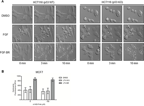 FGF-/LTV-tagged BR peptide induces rapid cell death independently of apoptosis.