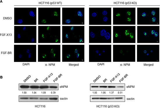 FGF-tagged BR peptide alters the sub-cellular localization and protein level of endogenous NPM.