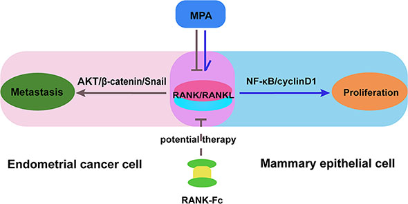 A proposed model for the effects of MPA and RANK-Fc on suppressing RANK/RANKL signal in different organs.