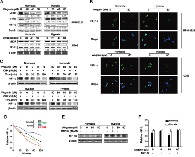 Wogonin Inhibited c-Myc Expression and Promoted HIF-1α Degradation in MM cells.