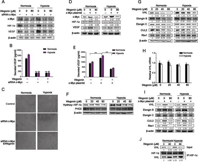 Wogonin Reduced c-Myc-Mediated Accumulation of VHL Complex.