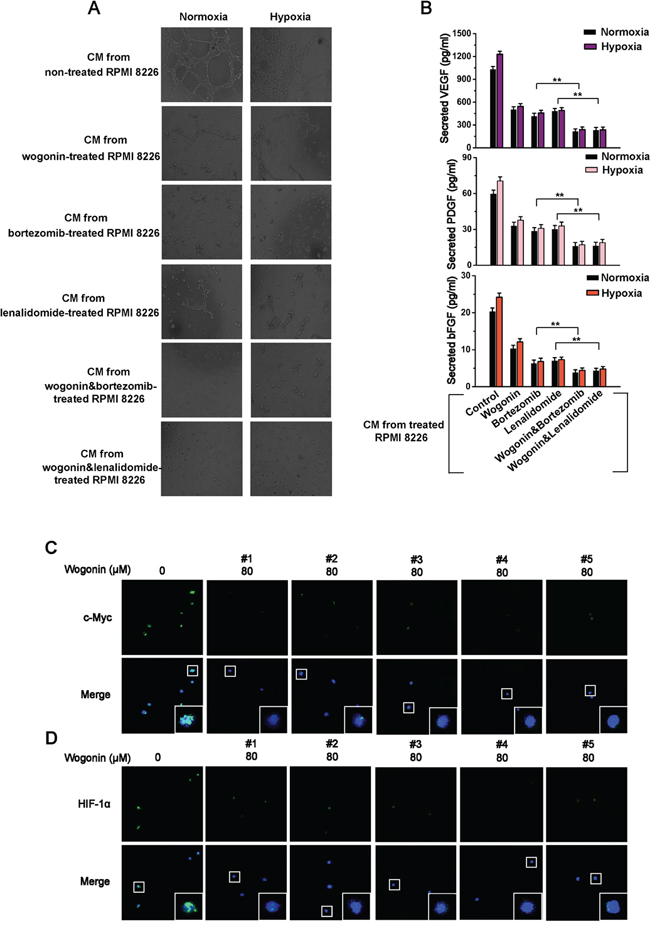 Wogonin Synergistically Repressed MM-Stimulated Angiogenesis with Bortezomib or Lenalidomide And Inhibited Expression of c-Myc and HIF-1α in Patient-Derived MM Cells.