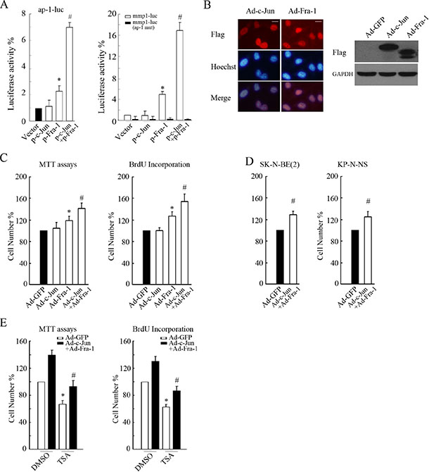 Co-overexpression of c-Jun and Fra-1 promoted proliferation and antagonized HDACI-mediated inhibitory effects.