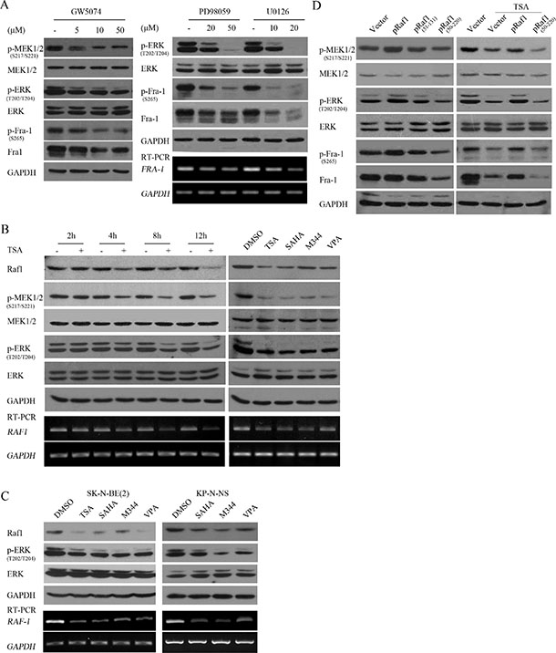 HDACIs suppressed Fra-1 expression through transcriptionally downregulating Raf1 and consequently decreasing MEK1/2-ERK1/2 activity.