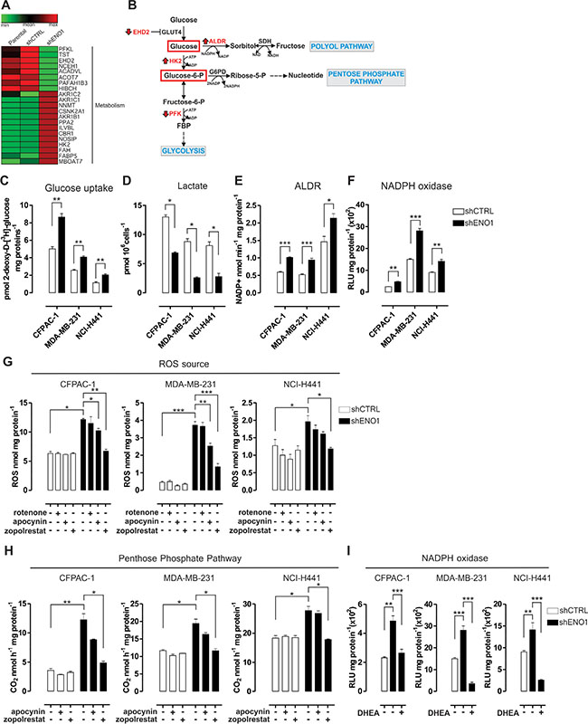 The polyol and pentose phosphate pathways increase the concentration of intracellular reactive oxygen species (ROS) in ENO1-silenced cells.