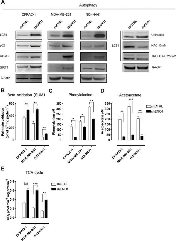 ENO1 silencing enhances catabolic pathway adaptations.