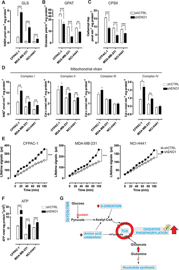 ENO1 silencing induces a decrease in nucleotide base synthesis and promotes oxidative phosphorylation.