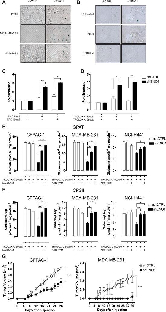 ENO1 silencing induces cellular senescence.