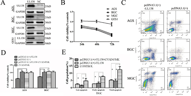 Overexpression of pUL138 inhibits cell viability and induced apoptosis in different gastric cancer cell lines.