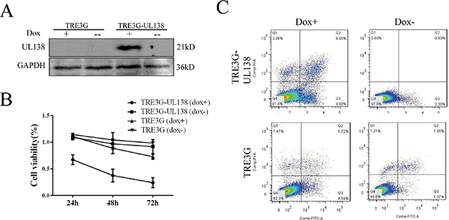 Inductive pUL138 expression in stably UL138-transfected BGC-823 cell validates pro-apoptotic function of pUL138.