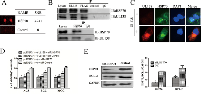 pUL138 interacts with HSP70 protein and blocks its function.