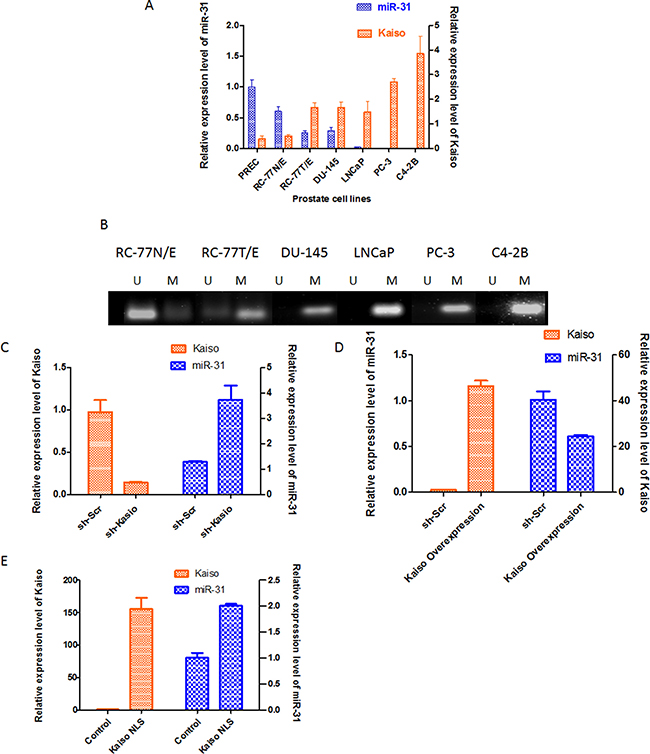 miR-31 expression is reversely correlated with kaiso expression in prostate cancer cells.