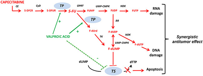 Mechanism of action of capecitabine and proposed synergistic interaction with valproic acid.