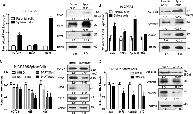 Notch and Wnt/β-catenin signaling pathway components are up-regulated in sphere-forming liver cancer stem cells.