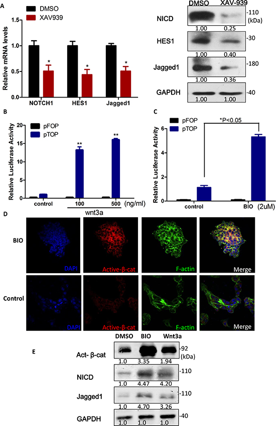 Notch1 was downstream of Wnt/β-catenin signaling in liver cancer stem cells.