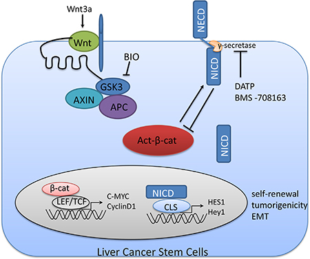 A non-proteasome mediated feedback loop between Notch1 and Wnt/β-catenin signaling in LCSCs.