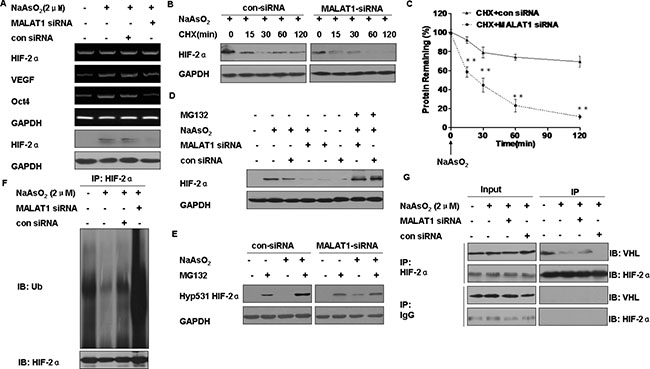 Functions of MALAT1 in the degradation of HIF-2α in L-02 cells exposed to arsenite.