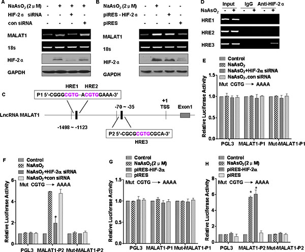 MALAT1 is regulated by HIF-2α in L-02 cells exposed to arsenite.