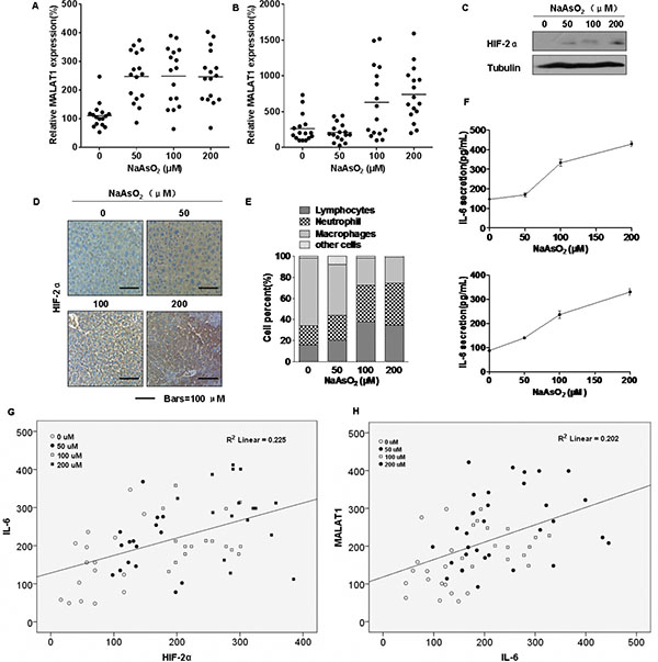 Effect of arsenite on the levels of HIF-2α and MALAT1 in mice.