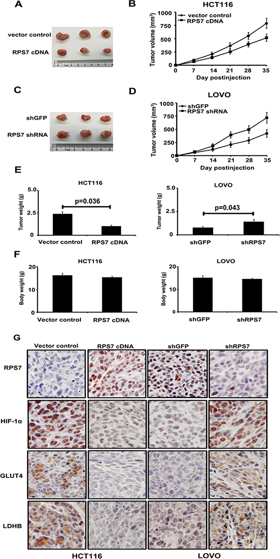 Xenograft tumor burden in mice with overexpression or silencing of RPS7.