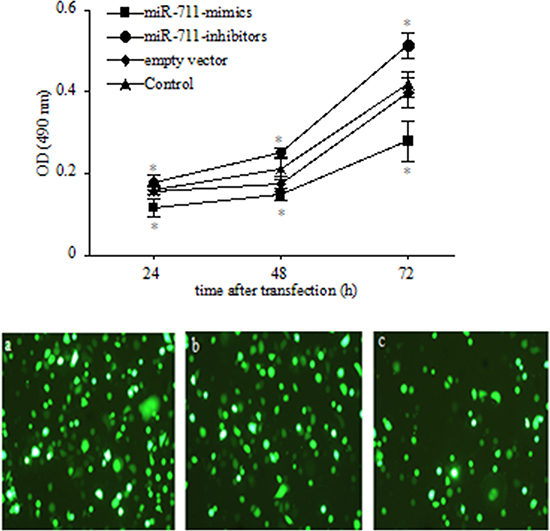 Inhibition of SGC-7901 viable cells by miR-711.