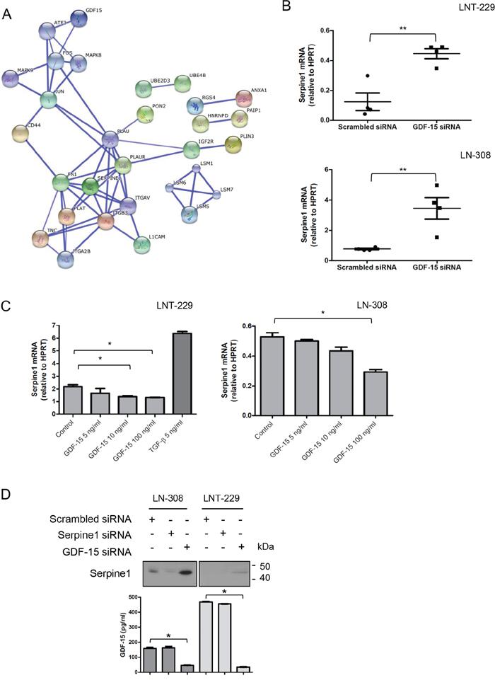 GDF-15 modulates serpine1 expression.