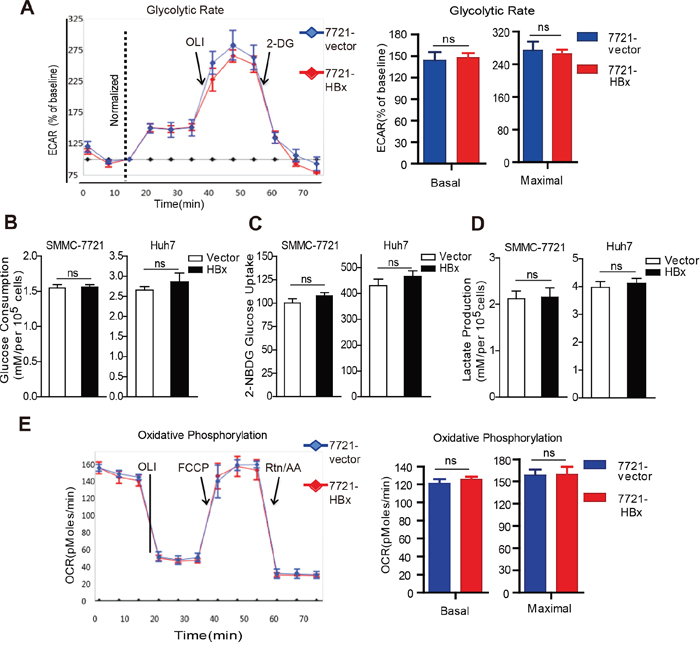 HBx does not affect the glycolysis and oxidative phosphorylation capacity of HCC cells.