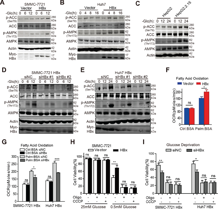 HBx promotes FAO in an AMPK-dependent manner in the absence of glucose.