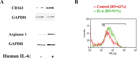 IL-6 up-regulates macrophage M2 phenotype and stimulates IL-4 receptor expression.