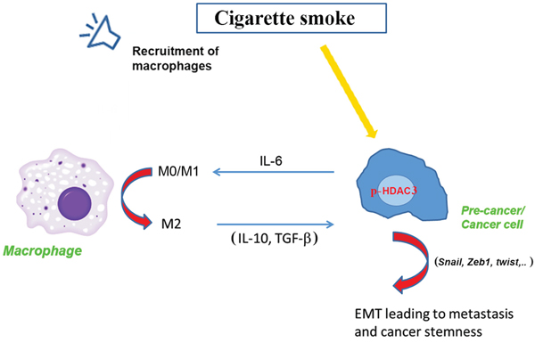 Representative scheme of the effect of smoking on p-HDAC3 leading to a cross talk between cancer cells and macrophages and promotion of the cancer.