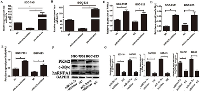 The expressions of c-myc/hnRNPA1/PKM2 were up-regulated in gastric cancer cells transfected with the miR-let-7a-inhibitor.