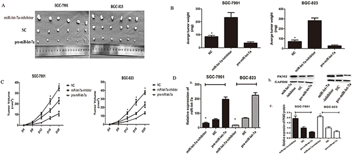 miR-let-7a inhibited xenograft tumor growth of GC cells SGC-7901 and BGC-823.
